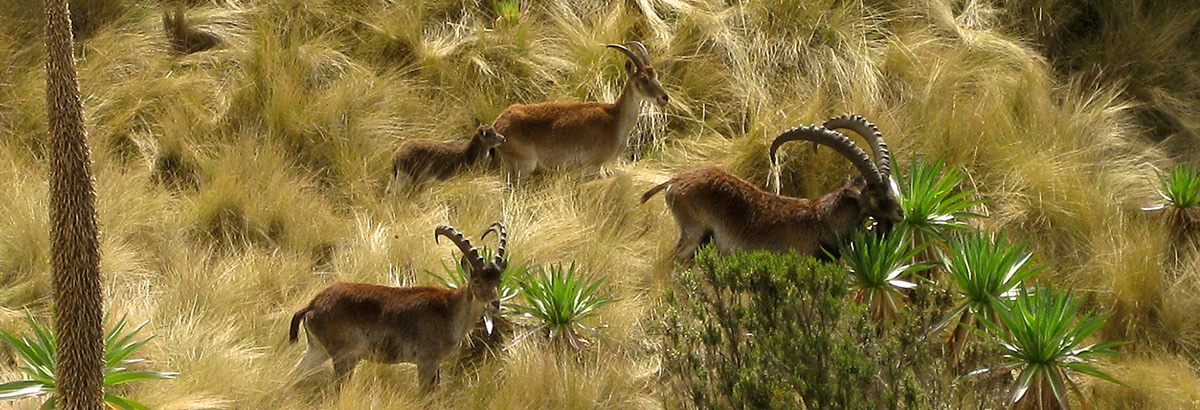 waliya-Ibex-in-simien-mountain.jpg